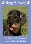 "Miniature Wire Haired Dachshund-Happy Birthday - ""From The Dog"" Theme"